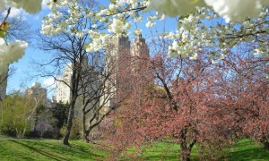 cherry-blossom-nyc-cc-vegetablepredator-at-flickr